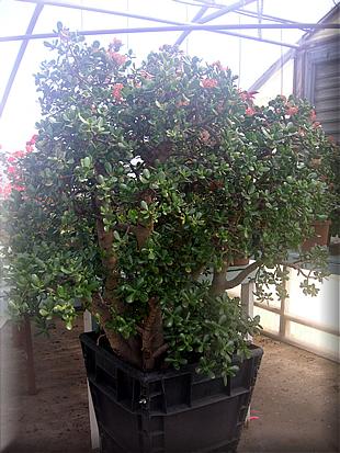 grama-jade
